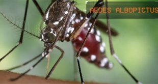 Aedes species of mosquito
