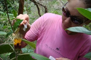 Lauren Weisenberger pollinating Hesperomannia arbuscula. (photo courtesy of the Oʻahu Army Natural Resources Program)