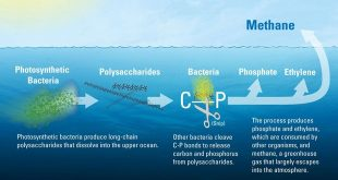 The new study determined that much of the ocean's dissolved organic matter is made up of novel polysaccharides—long chains of sugar molecules created by photosynthetic bacteria in the upper ocean. Bacteria begin to slowly break these polysaccharides, tearing out pairs of carbon and phosphorus atoms from their molecular structure. In the process, the microbes create methane, ethylene, and propylene gasses as byproducts. Most of the methane escapes back into the atmosphere. (Illustration by Eric Taylor, Woods Hole Oceanographic Institution)