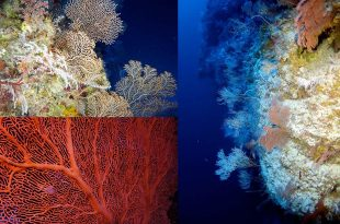 Gorgonian (sea fan) corals on the twilight reefs of Pohnpei Island. (credit: Sonia J. Rowley)