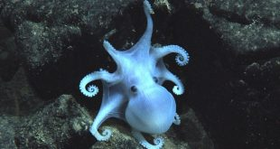 Manganese nodules as breeding ground for deep-sea octopods