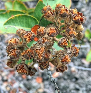 Close up of ohia seeds
