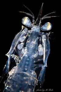 Larval stomatopod