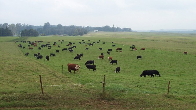 Mealani herd in a field