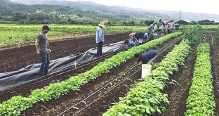 GoFarm participants plant greens at the program's Waialua site.