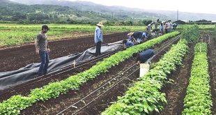 GoFarm participants plant greens at the program's Waialua site.