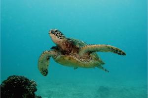 Hawaiian green sea turtle in ocean
