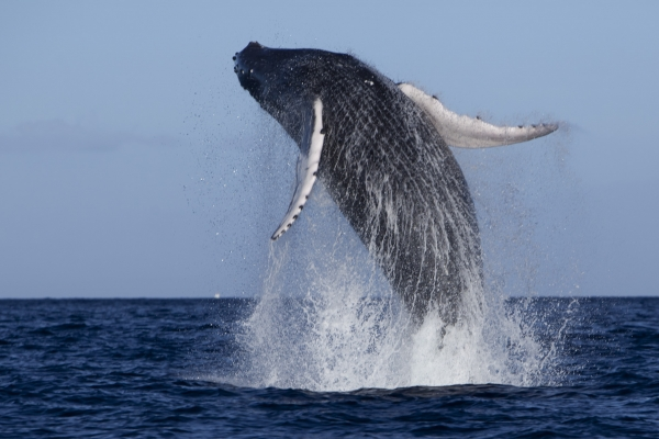Humpback Whale breaching ocean surface