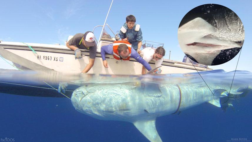 Mānoa Researchers Tag More Tiger Sharks To Track Online