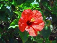 image hibiscus-flower-jpg