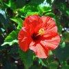 image hibiscus flower.jpg