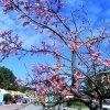 image yaesakura cherry blossom3.jpg
