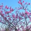 image yaesakura cherry blossom4.JPG