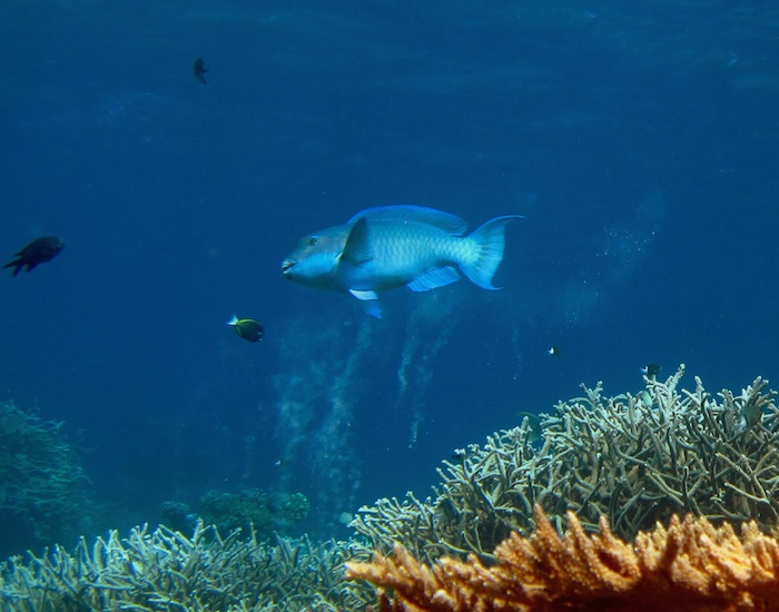 <p><b>Fig 1.</b> Parrotfish help cycle matter by expelling fine-grain coral sand on a tropical reef at Palmyra Atoll. Palmyra Atoll is in the center of the Pacific ocean basin.</p>