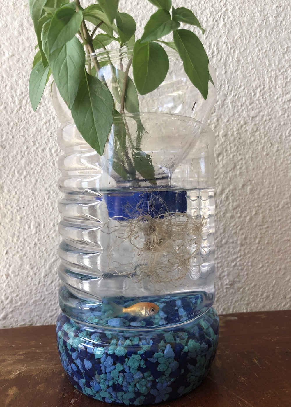 <p>Fig. 6. Complete aquaponics-in-a-bottle with aquarium rocks, a small fish, and a basil plant.</p>