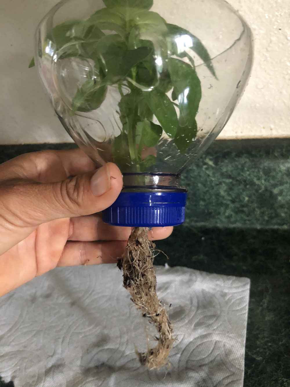 <p>Fig. 4b. Basil plant with roots pulled through the hole in the bottle cap.</p>