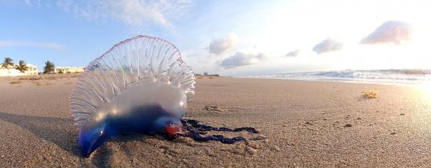 <p>Fig. 1. This Portuguese Man o' War will not survive washed up on the beach.</p><br />