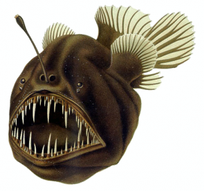 <p>Fig. 13. Anglerfish have large teeth and a lure that hangs over their head in order to maximize prey capture in the deep ocean.</p>