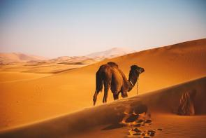 <p>Fig. 2. The brown coloring of a camel helps it to blend in with the desert sand behind it.</p><br />