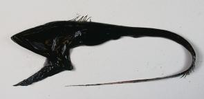 <p>Fig. 12. Gulper eels can expand their mouths to capture large prey.</p>