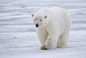<p>Fig. 1. The white appearance of this polar bear helps it to camouflage in with the white snow.</p><br />