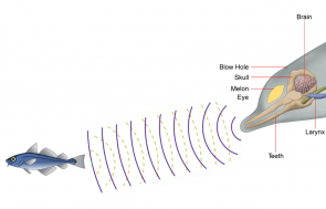 <p>Fig. 2. A dolphin sends out a sound and interprets the echo to know if the object is a prey item.</p>