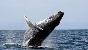 <p>Fig. 1. Humpback whale breaching.</p>