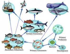 <p>Fig. 3. Groups of organisms that play similar roles within a food web make up different trophic levels.</p>