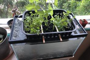 <p>Fig 3A. Basil and cilantro growing side by side in a hydroponic system. Comparing plants grown hydroponically to those grown in soil can be helpful to explore what plants need to grow.</p><br />