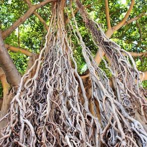 <p>Fig. 2.&nbsp;Banyan trees, like this one found in Honolulu, can reach enormous sizes.</p><br />