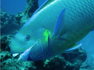 <p>Fig. 6. A spectacled parrotfish from the Northwest Hawaiian Islands uses its bird-like beak to scrape algae off of the reef. Parrotfish are important bioeroders.<br />&nbsp;</p>