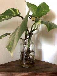 <p>Fig. 1. This plant has been growing only in water for almost a year!</p>