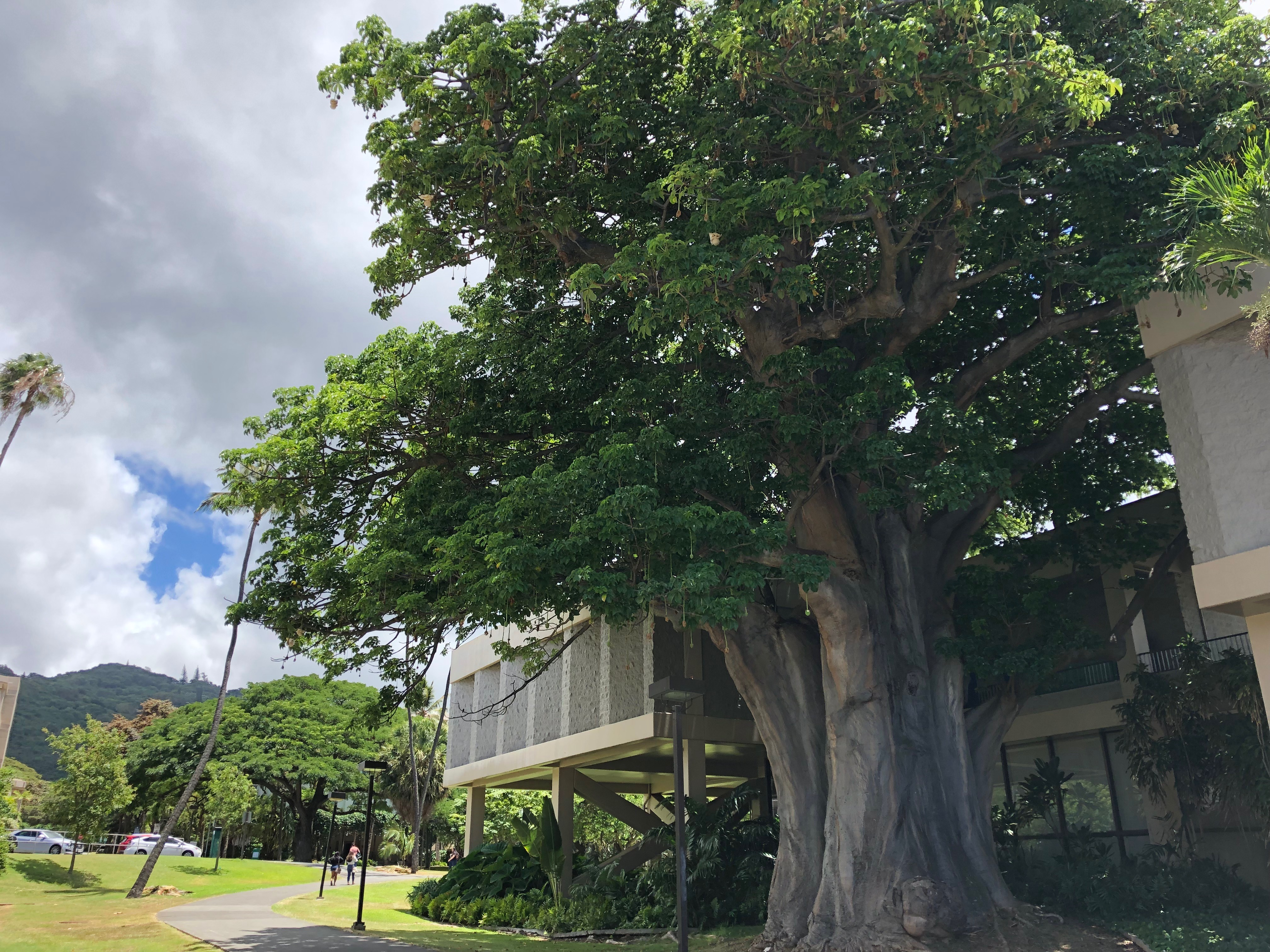 the baobab tree on the manoa campus