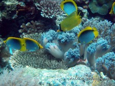 Butterflyfishes feeding on coral polyps