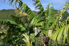 banana-bunchy-top_11376059605_o