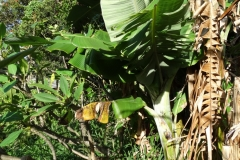 banana-bunchy-top_26832860067_o
