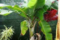 banana-bunchy-top_41210793925_o