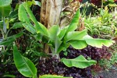 banana-bunchy-top_41210794785_o