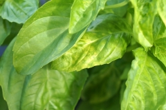 basil-infected-by-tomato-spotted-wilt-virus-tswv_11521801863_o