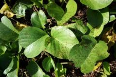 beach-morning-glory-ipomoea-pes-caprae-subsp-brasiliensis-phuehue-cercospora-leaf-spot_11470676545_o