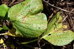 beach-morning-glory-ipomoea-pes-caprae-subsp-brasiliensis-phuehue-cercospora-leaf-spot_11470775406_o