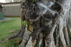 chinese-banyan-decay-of-pruning-wound_42132554901_o