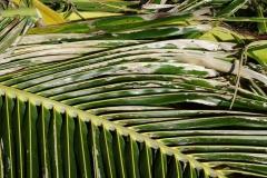 coconut-cocos-nucifera-agonoxena-argaula-coconut-leafminer-injury-to-leaflets-in-manoa_41696906865_o
