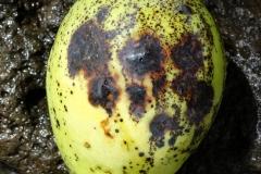 mango-mangifera-indica-anthracnose_26720245797_o