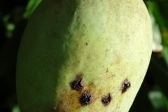 mango-mangifera-indica-bacterial-black-spot-caused-by-xanthomonas-citri-pv-mangiferae-indicae_40909387465_o