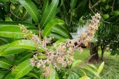 mango-powdery-mildew_41664282792_o