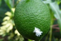 mealybug-destroyer-on-citrus-fruit-and-feeding-on-scale-insects_39757831900_o