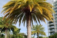 palm-potassium-k-deficiency_26742079057_o