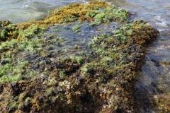 sea-weed-seaicus-weedii-on-rock_11675252314_o