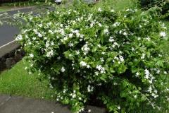 star-jasmine-mosaic_39847768700_o
